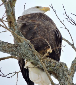 Looking up at an eagle on a branch 50 feet above me. (Allan Lynch Photo)